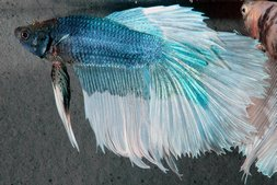 Betta splendens Kampffisch M.