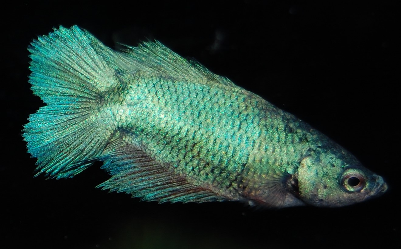 Betta splendens Kampffisch W.